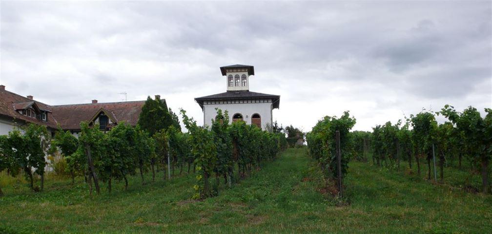 Riesling sur la commune de Ruppertsberg