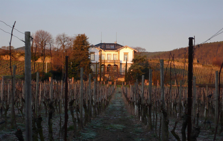 Soleil se lève sur les vignes de Deidesheim