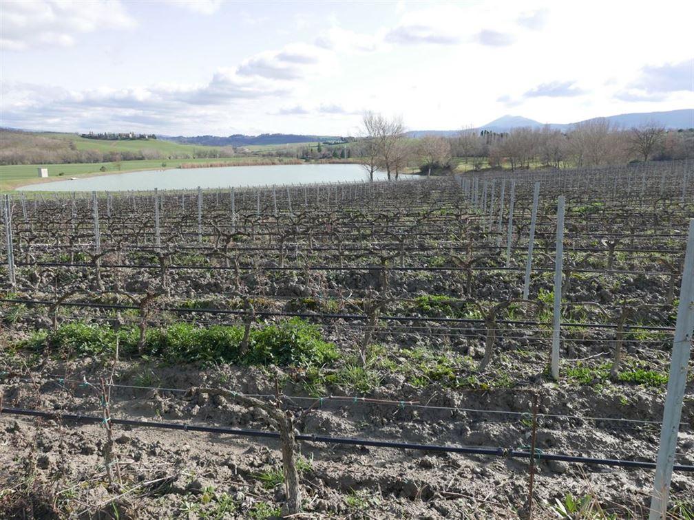 Carpineto, la jeune vigne de sangiovese